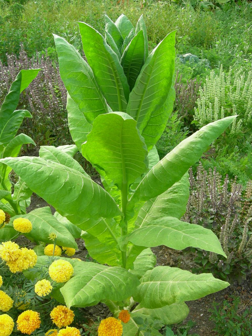 Семена табака американ